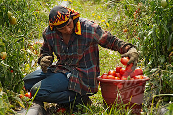 Immigrant Worker picks tomatoes in Georgia